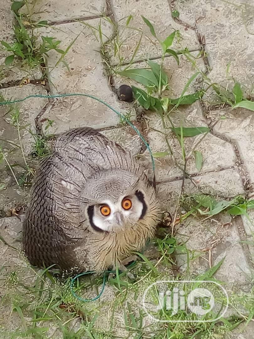 Great Horned Owl for Sale | Birds for sale in Ikotun/Igando, Lagos State, Nigeria