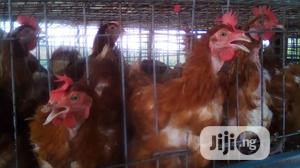 Old Layers Chicken | Livestock & Poultry for sale in Oyo State, Ibadan