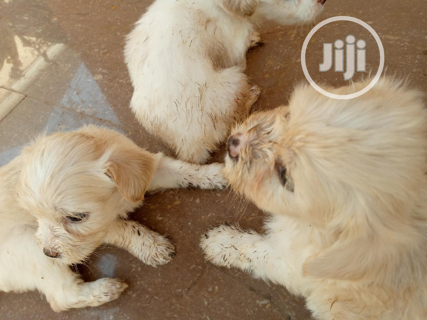 1-3 Month Male Purebred Lhasa Apso | Dogs & Puppies for sale in Apo District, Abuja (FCT) State, Nigeria