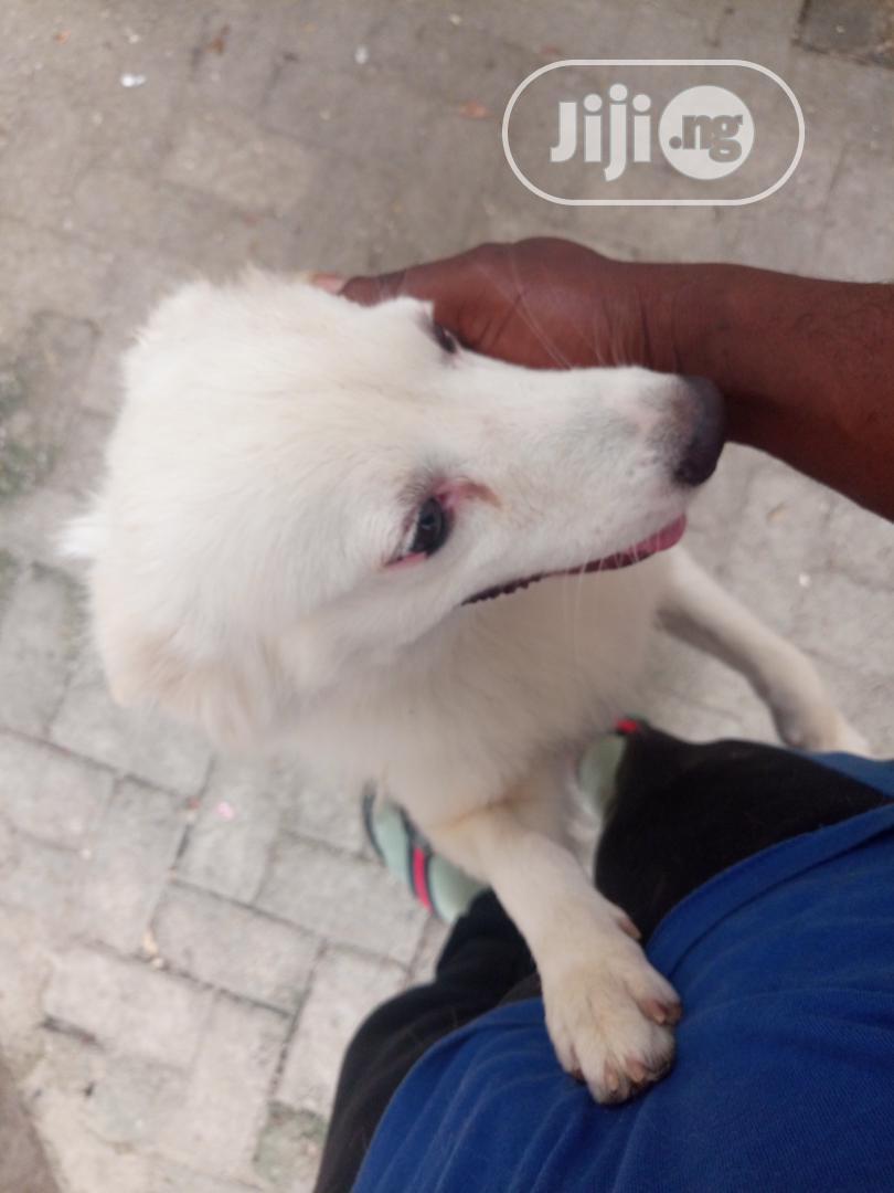 3-6 Month Male Purebred American Eskimo | Dogs & Puppies for sale in Ibadan, Oyo State, Nigeria