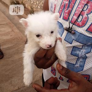 0-1 Month Female Purebred American Eskimo | Dogs & Puppies for sale in Ekiti State, Ado Ekiti