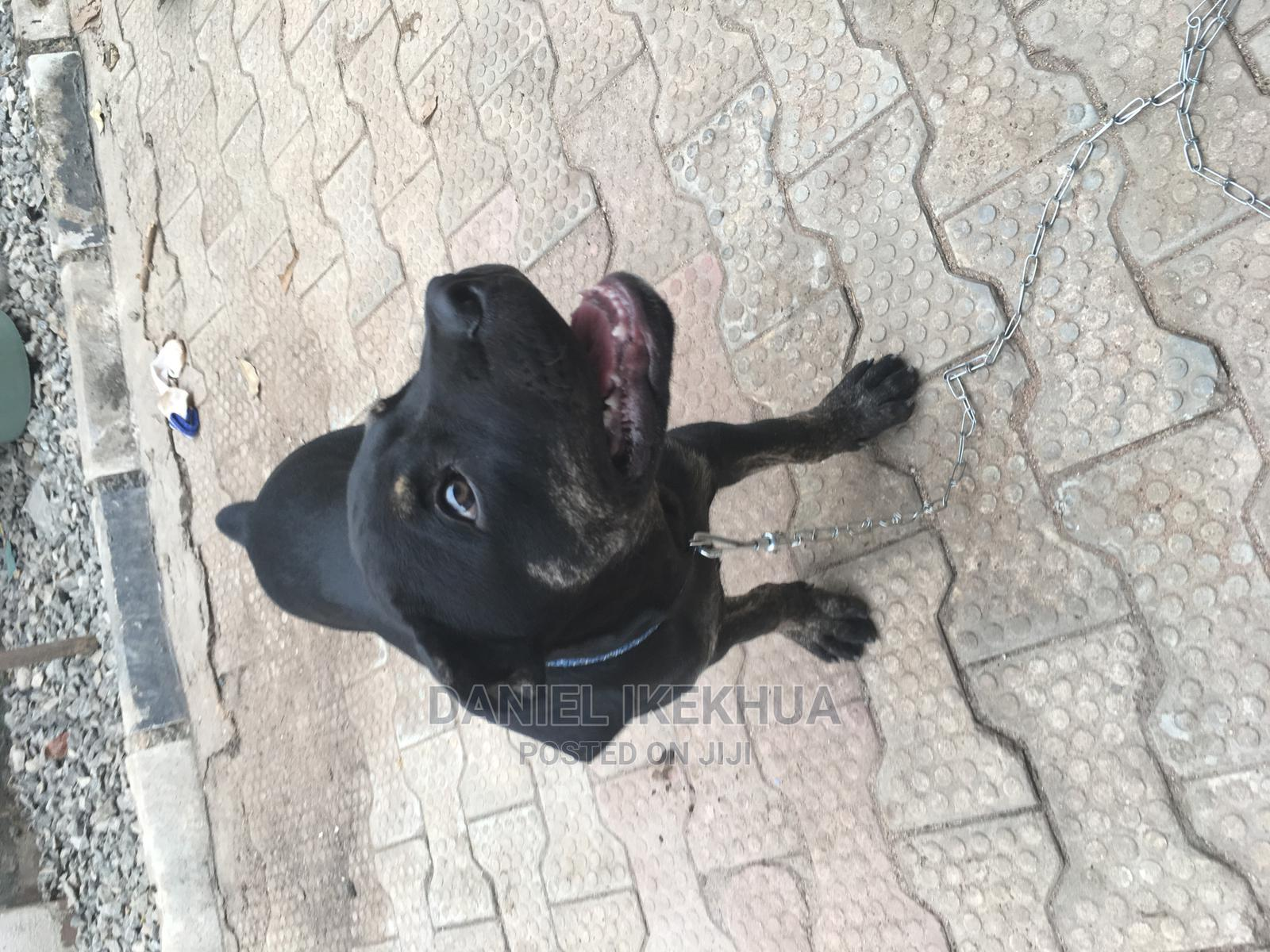 1-3 Month Male Purebred Boerboel | Dogs & Puppies for sale in Benin City, Edo State, Nigeria