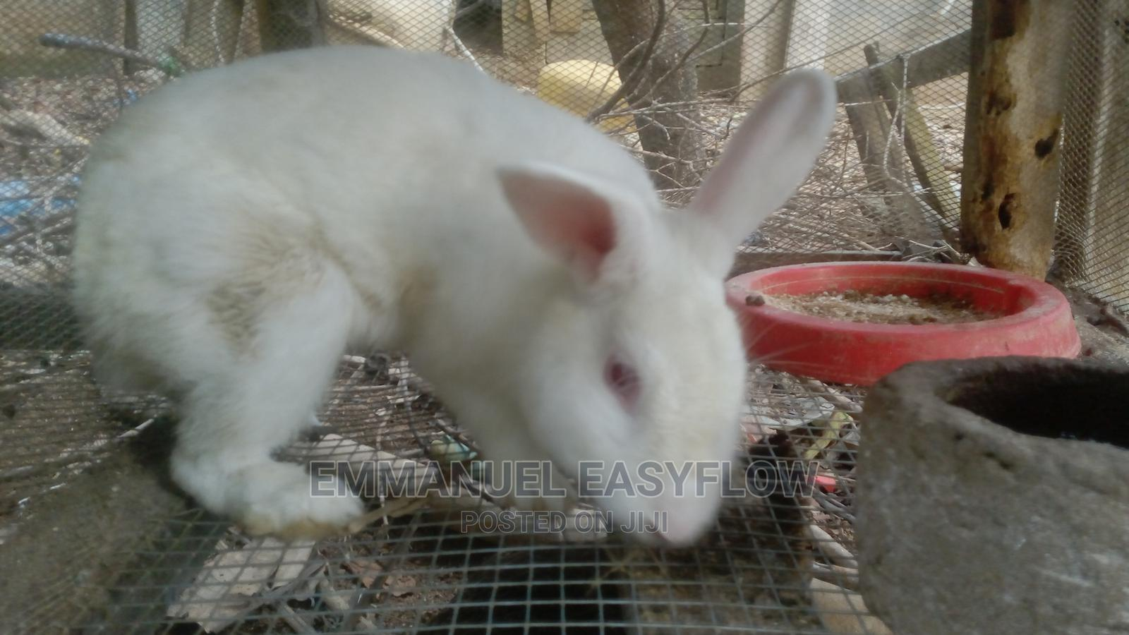 Archive: Adult Rabbits For Sale