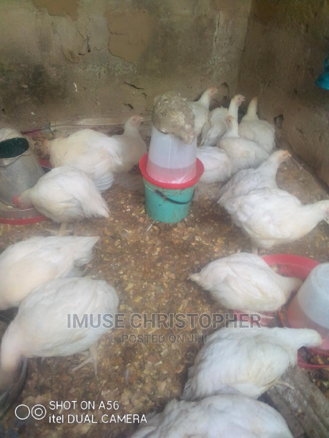 Archive: Live Broilers Chickens