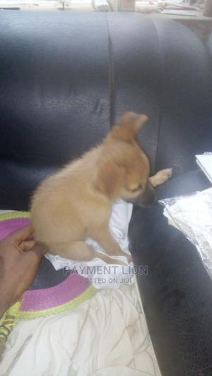 0-1 Month Female Purebred Caucasian Shepherd | Dogs & Puppies for sale in Lagos State, Lagos Island (Eko)