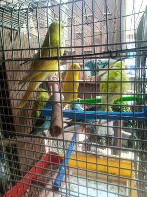 Australia Buggies | Birds for sale in Lagos State, Ikorodu