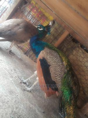 Peacock N Birds | Birds for sale in Lagos State, Ikorodu
