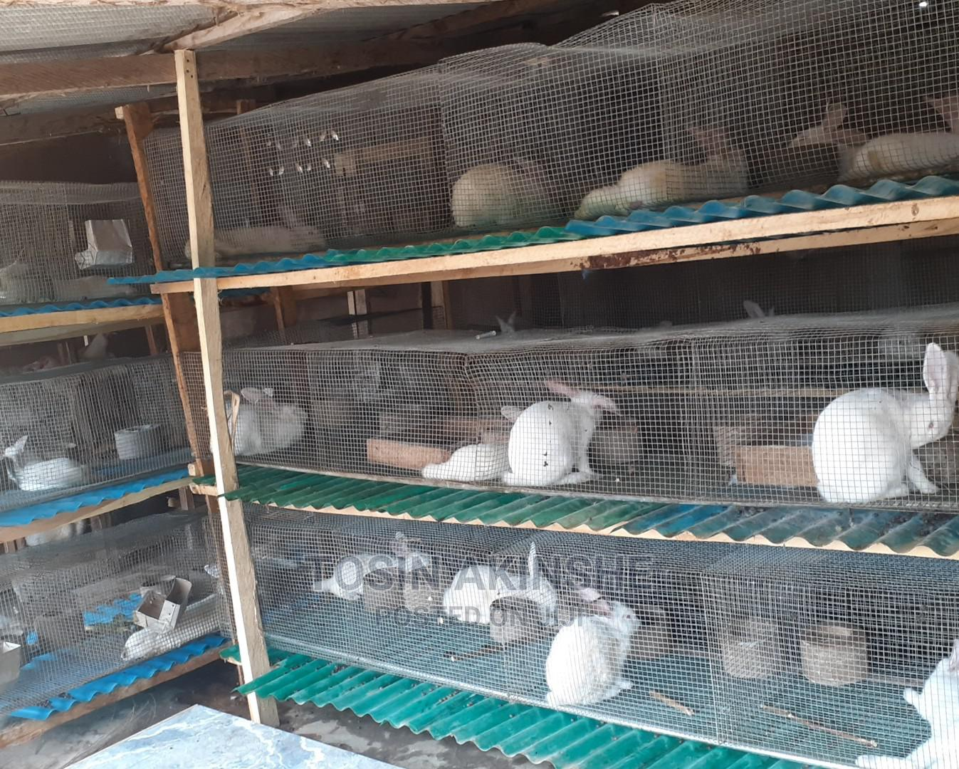 Quality Hyla Rabbits For Sale