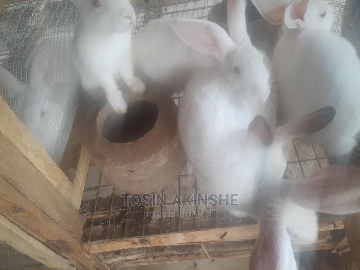 Quality Hyla Rabbits For Sale | Livestock & Poultry for sale in Alimosho, Lagos State, Nigeria
