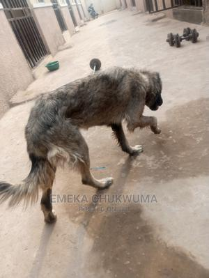 1-3 Month Female Purebred Caucasian Shepherd | Dogs & Puppies for sale in Abuja (FCT) State, Karu