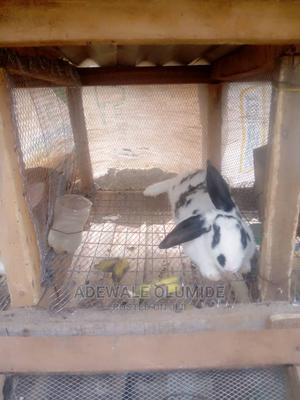 Angora Breed And Hyla Max Rabbit | Livestock & Poultry for sale in Ogun State, Ijebu Ode