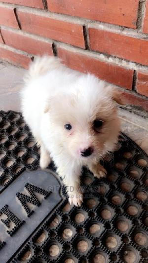 1-3 Month Male Purebred American Eskimo | Dogs & Puppies for sale in Abuja (FCT) State, Kubwa