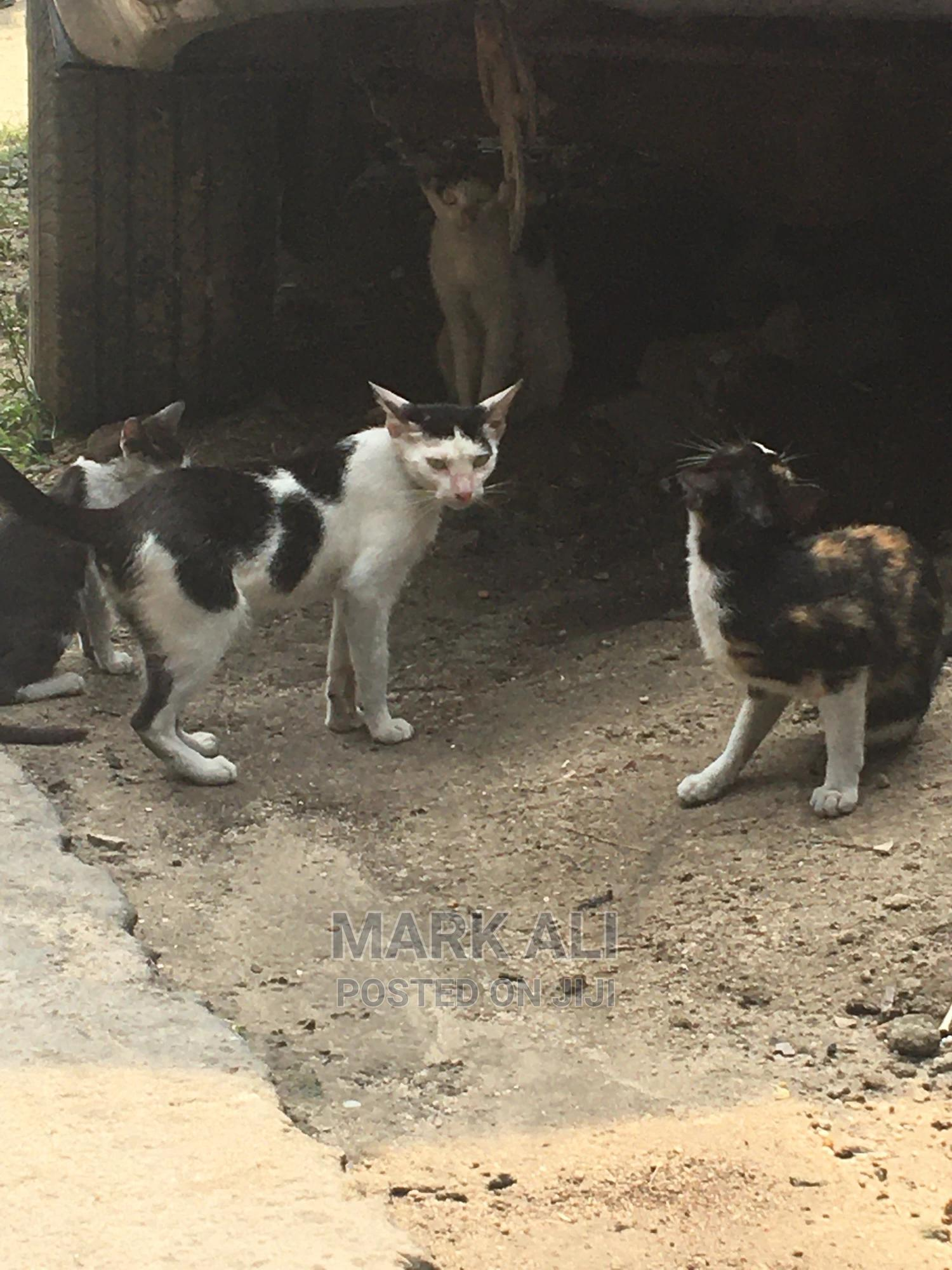 Archive: 3-6 Month Female Mixed Breed Cat