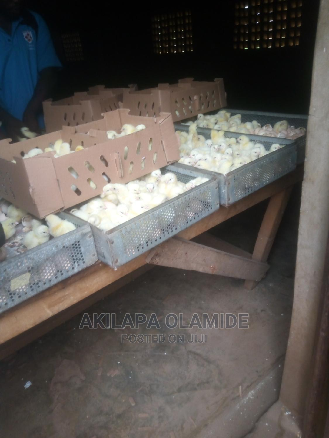 Day Old Broiler Chickens | Livestock & Poultry for sale in Abeokuta South, Ogun State, Nigeria