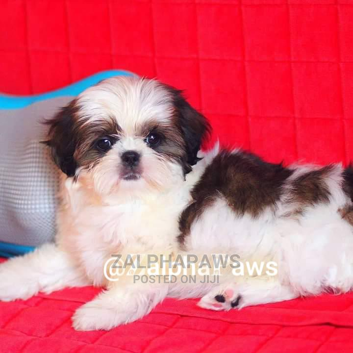 1-3 Month Male Purebred Shih Tzu | Dogs & Puppies for sale in Isolo, Lagos State, Nigeria