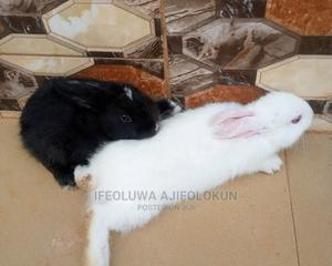 Rabbit Pure Hyla Product   Livestock & Poultry for sale in Edo State, Benin City
