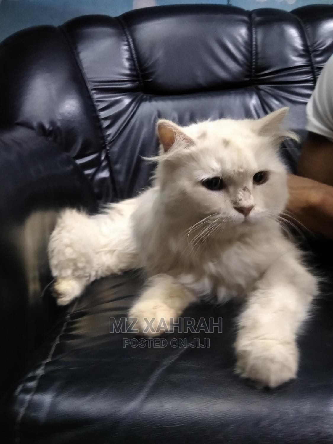 Archive: 3-6 Month Female Purebred Persian