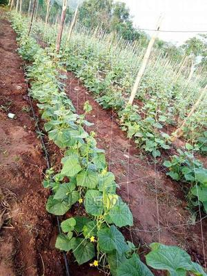 Cucumber and Moringa Farming | Feeds, Supplements & Seeds for sale in Oyo State, Ibadan