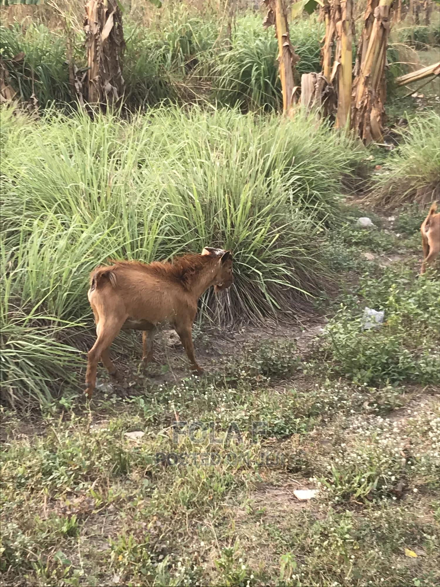 Archive: Native Goats For Sale