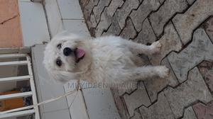 6-12 Month Male Purebred Lhasa Apso | Dogs & Puppies for sale in Abuja (FCT) State, Lugbe District