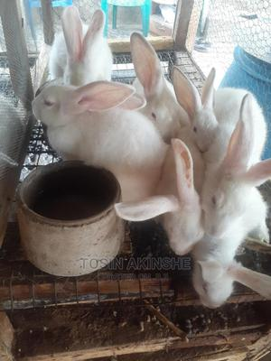 Quality Hyla Rabbits | Livestock & Poultry for sale in Lagos State, Alimosho