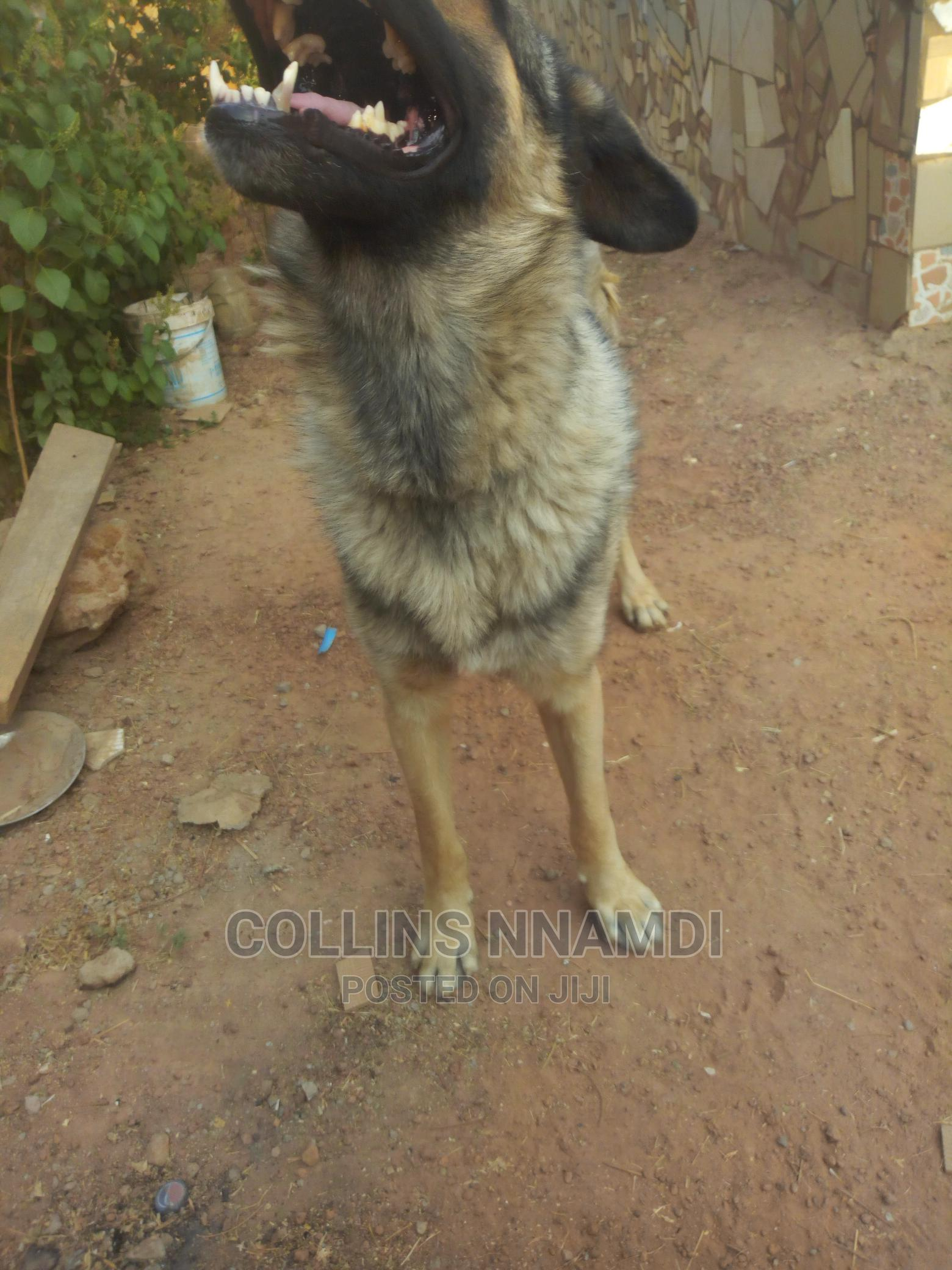 GSD for Crossing/Stud | Pet Services for sale in Kuje, Abuja (FCT) State, Nigeria