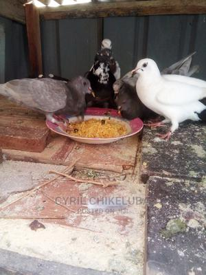 Matured Pigeons For Sale At Best Prices Each | Birds for sale in Kaduna State, Kaduna / Kaduna State