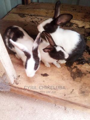 Foreign Rabbits of Different Ages for Sale | Livestock & Poultry for sale in Kaduna State, Kaduna / Kaduna State