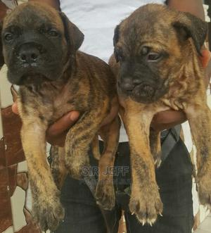 1-3 Month Male Purebred Boerboel | Dogs & Puppies for sale in Abia State, Aba North