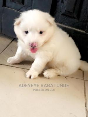0-1 Month Female Purebred American Eskimo | Dogs & Puppies for sale in Oyo State, Ibadan