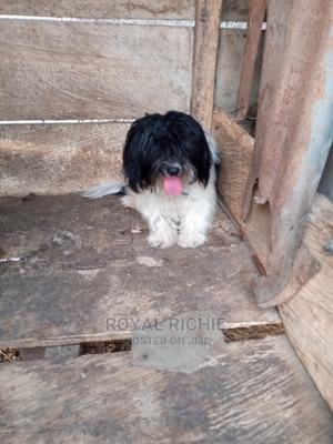 6-12 Month Male Purebred Lhasa Apso   Dogs & Puppies for sale in Ekiti State, Ado Ekiti