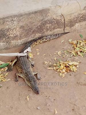 Croccodiles | Reptiles for sale in Bauchi State, Bauchi LGA