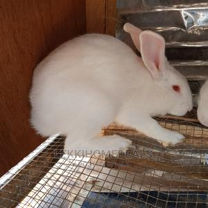 Rabbit Kittens (Bunnies) for Sale   Livestock & Poultry for sale in Lagos State, Agege