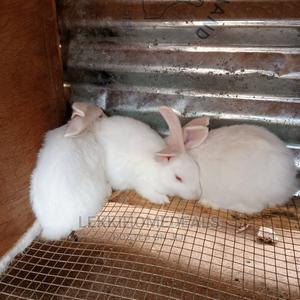 Rabbit Bunnies for Sale   Livestock & Poultry for sale in Lagos State, Agege