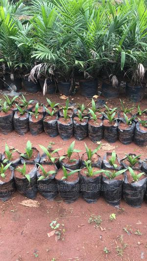 Fresh Tenera Palm Oil Seedlings   Feeds, Supplements & Seeds for sale in Edo State, Benin City