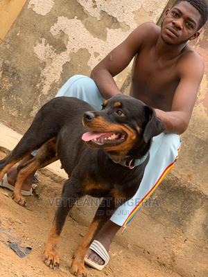 1+ Year Female Purebred Rottweiler | Dogs & Puppies for sale in Abuja (FCT) State, Utako