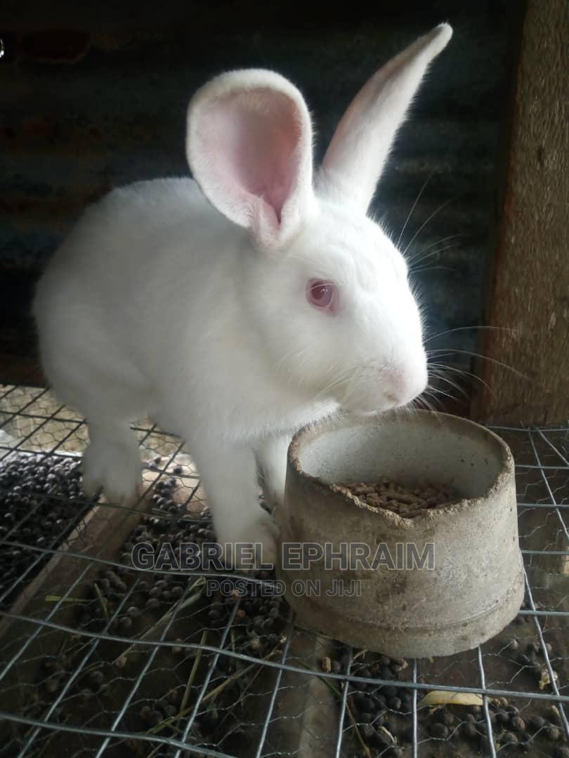 Fresh Giant Foreign Rabbits | Livestock & Poultry for sale in Port-Harcourt, Rivers State, Nigeria