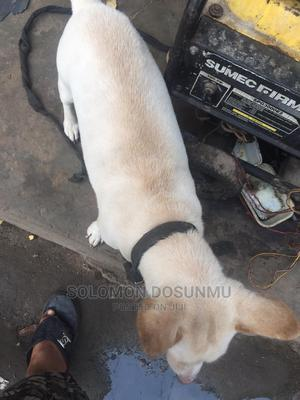 1+ Year Male Mixed Breed Toy Fox Terrier | Dogs & Puppies for sale in Lagos State, Yaba