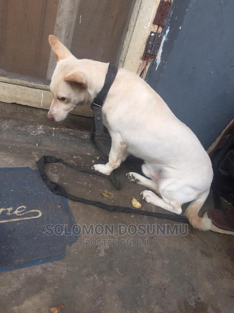 1+ Year Male Mixed Breed Toy Fox Terrier | Dogs & Puppies for sale in Yaba, Lagos State, Nigeria