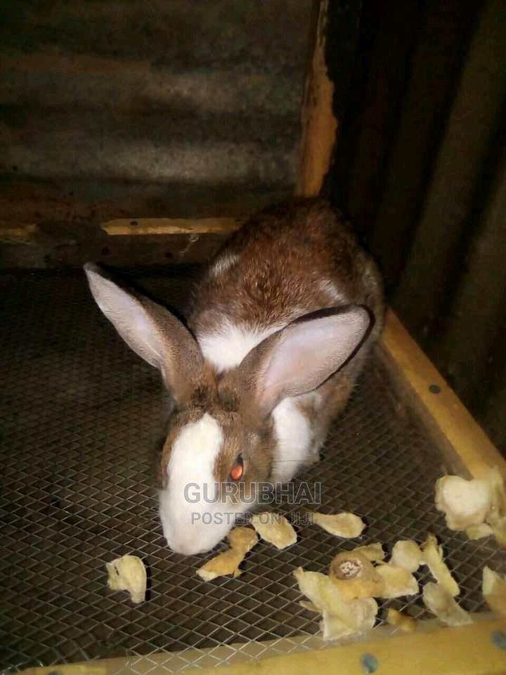 Archive: Dutch Rabbit