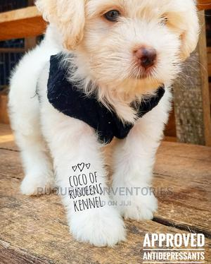 0-1 Month Female Purebred Lhasa Apso | Dogs & Puppies for sale in Edo State, Benin City