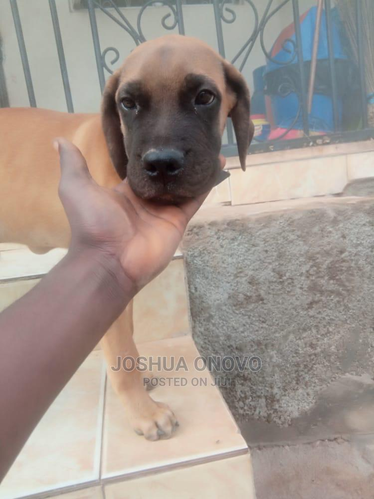 1-3 Month Male Purebred Boerboel | Dogs & Puppies for sale in Karu, Abuja (FCT) State, Nigeria