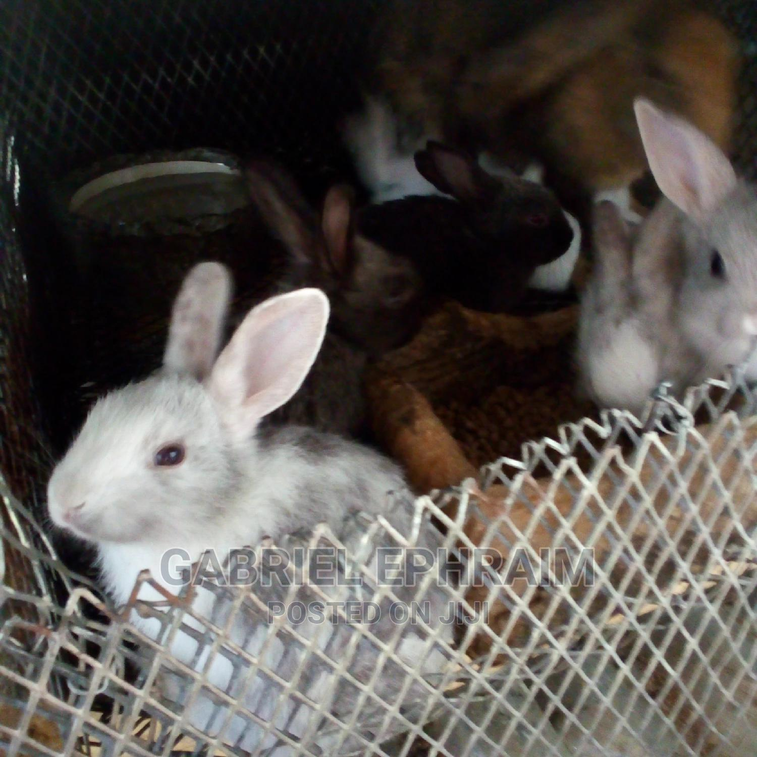 Hyla And Harlequin Rabbits | Livestock & Poultry for sale in Port-Harcourt, Rivers State, Nigeria