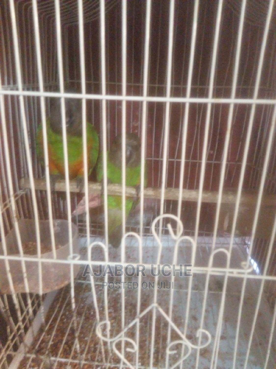 Archive: Lovely Parrot Just 7months Old