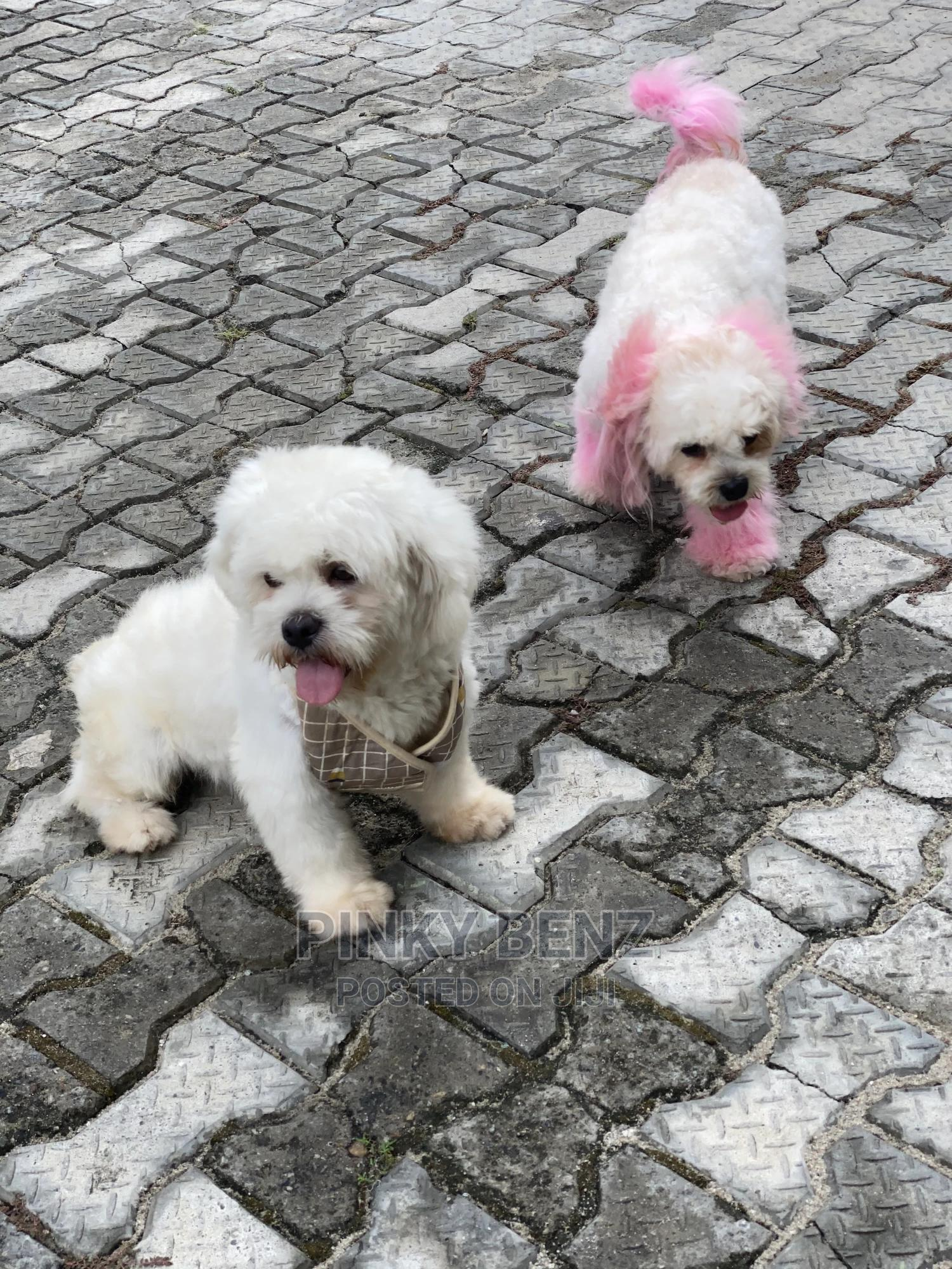 1+ year Male Purebred Lhasa Apso | Dogs & Puppies for sale in Lekki, Lagos State, Nigeria