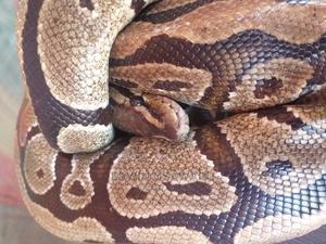 Ball Python   Reptiles for sale in Edo State, Benin City