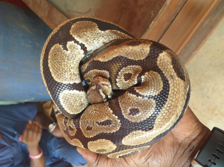 Ball Python   Reptiles for sale in Benin City, Edo State, Nigeria