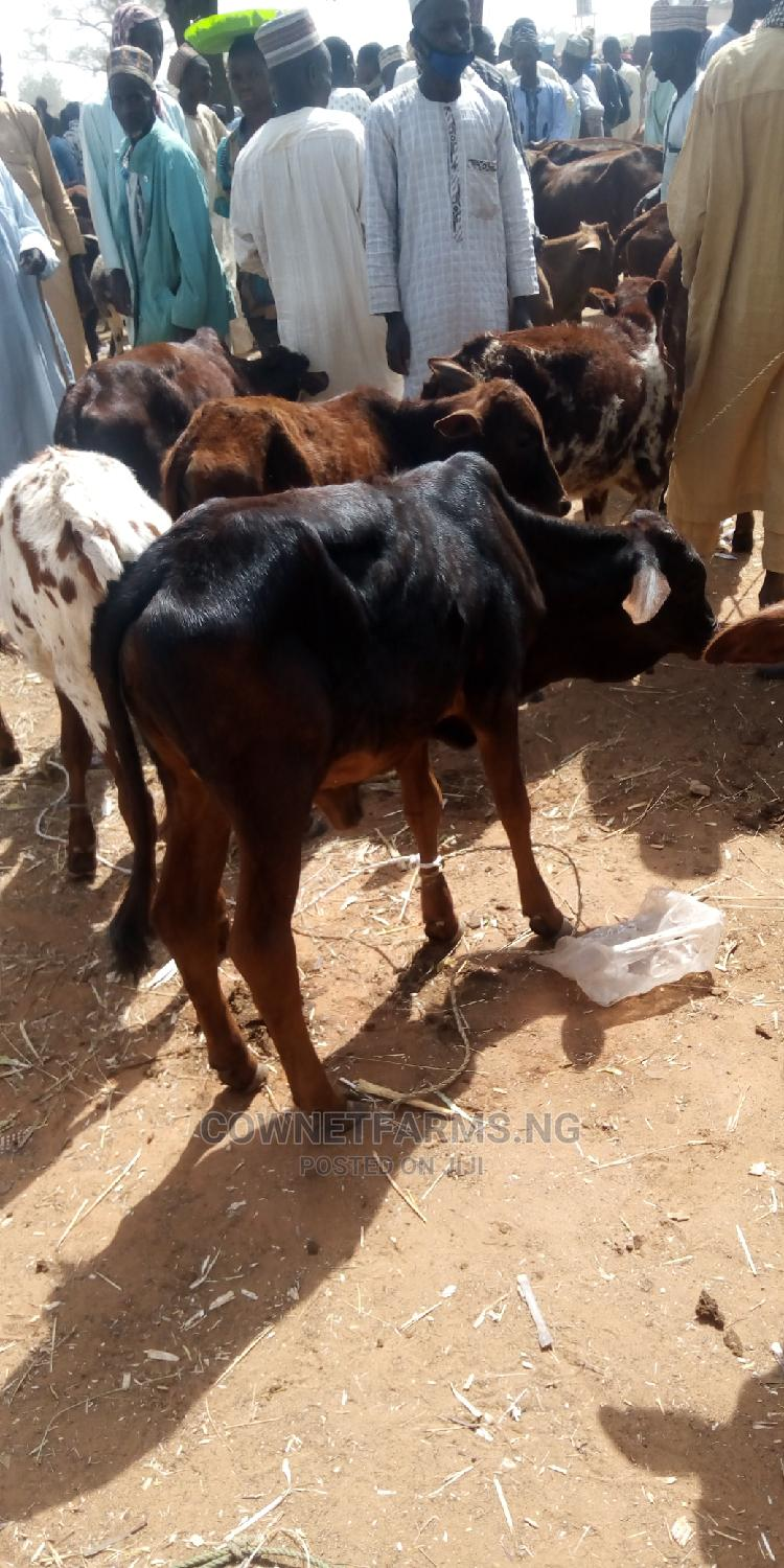 Calf for Rearing Only( on Request Only)