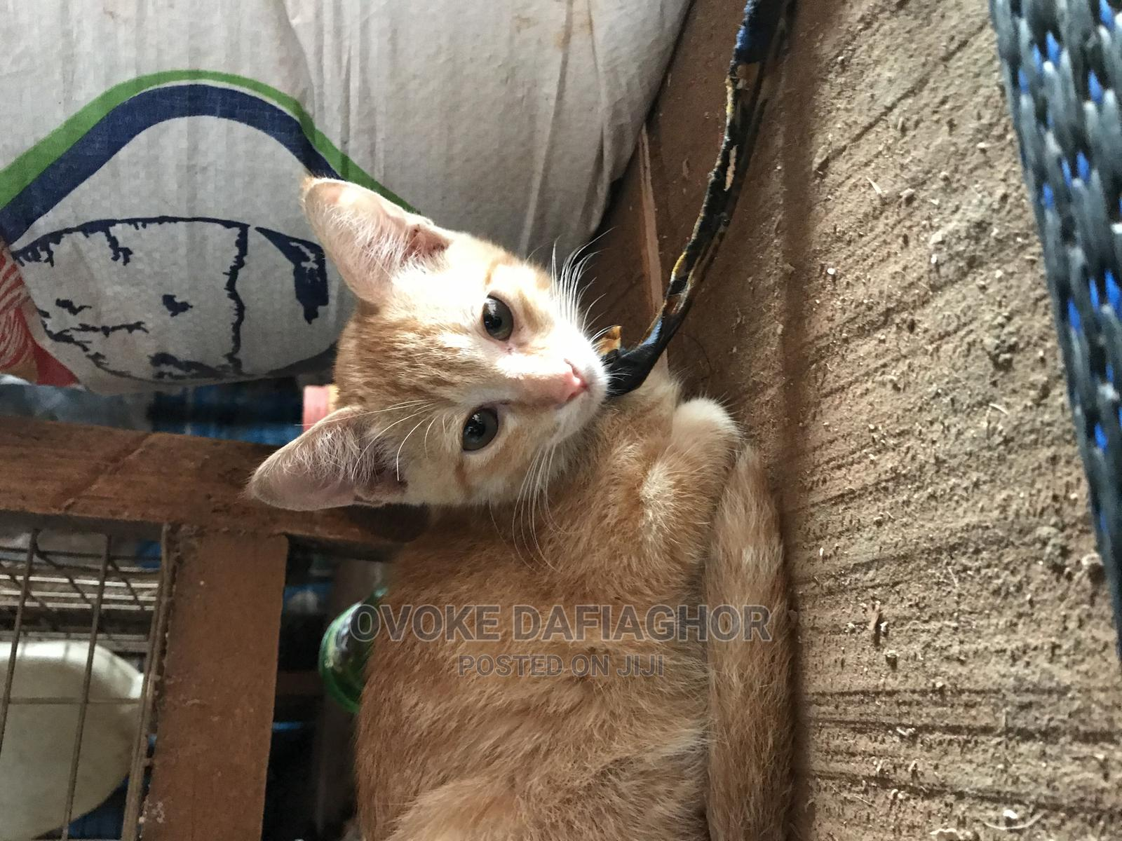 3-6 Month Male Purebred Cat | Cats & Kittens for sale in Ikorodu, Lagos State, Nigeria