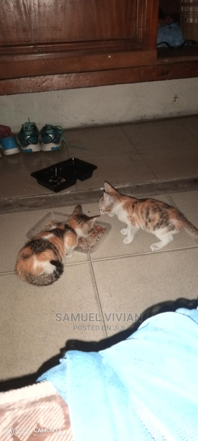 Archive: 1-3 Month Female Purebred Abyssinian